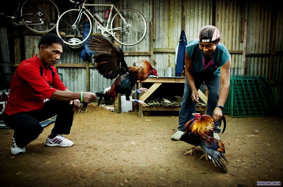 guideposts on cockfighting in the philippines Home people and celebs the culture of cockfighting in the philippines the culture of cockfighting in the philippines by sigrid people and celebs 4.